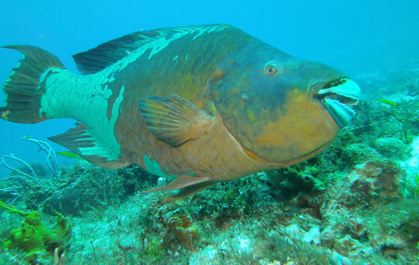 Giant Rainbow Parrot Fish